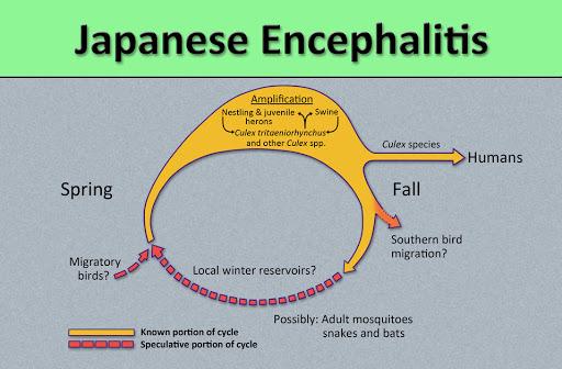 Gejala Japanese Encephalitis