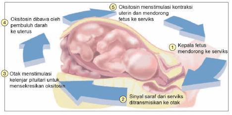 Mekanisme umpan balik positif pada partus-min